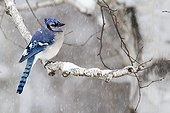 Blue Jay on a branch in the snow - Quebec Canada