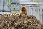 Woodchuck eating on a compost  - Quebec Canada