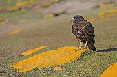 Striated Caracara on rock covered with lichen - Falklands