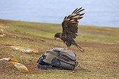 Striated Caracara the photographer's packsack - Falkland Islands