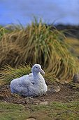Young Giant petrel at nest - Falkland Islands