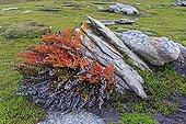 Blechnum fern in the rocks - Falkland Islands
