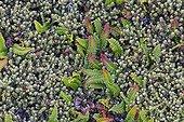 Blechnum fern - Falkland Islands