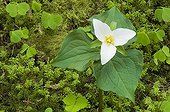 WesternWhite Trillium flower -Willamette National Forest USA ; Cascade Mountains
