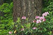 Pacific Rhododendron and Douglas-fir -Umpqua National Forest ; Cascade Mountains