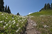 Avalanche Lily and High Divide Trail - Olympic NP Washington ; Cascade Mountains