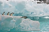 Adelie penguins jumping from iceberg - South Orkney Islands