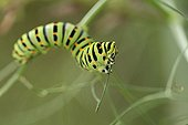 Swallowtail caterpillar on bitter Fennel - Fribourg Switzerland