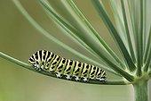 Swallowtail caterpillar on bitter Fennel - Fribourg Switzerland