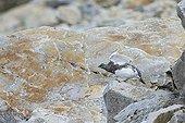 Ptarmigan moulting on rock - Swiss Alps Switzerland