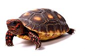 Young Red-footed Tortoise on white background ; Park Turtles 'A Cupulatta'