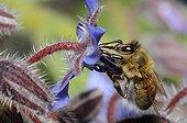Honeybee on flower Borage - Northern Vosges France