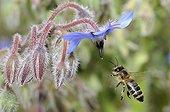 Honeybee flying on flowers Borage - Northern Vosges