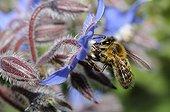 Honeybee on flowers Borage - Northern Vosges France