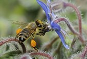 Honeybee on flowers Borage - Northern Vosges France