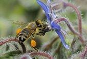 Abeille à miel sur fleur de Bourrache -Vosges du Nord