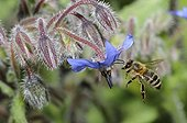 Abeille à miel en vol sur fleur de Bourrache -Vosges du Nord