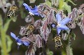 Abeilles à miel en vol sur fleur de Bourrache-Vosges du Nord
