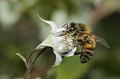 Honeybee on flower Raspberry - Northern Vosges France