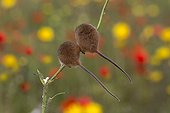 Harvest Mouse among flowers in summer - GB