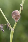 Harvest Mouse looking for food in summer - GB