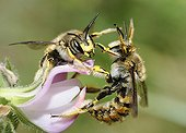 Cotton Bees on Restharrow flowers - Northern Vosges ; female pushing a male