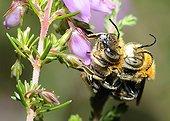 Anthophora Bee mating on Scotch heath - Aquitaine France