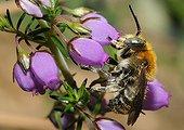 Anthophora Bee female on Scotch heath - Aquitaine France