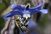 Anthophora Bee male on Common Borage - Northern Vosges