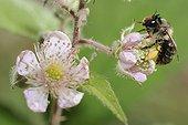 Forked Anthophora on flower Bramble - Northern Vosges