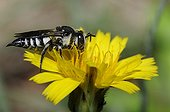 Blunt-tailed Coelioxys on Yellow flower - Aquitaine France