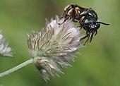 Abeille parasite sur fleur de Trèfle - Vosges du Nord France ; Abeille parasite de Macropis fulvipes