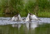 Osprey fishing a trout - Scotland UK