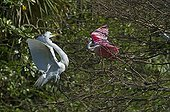 Spatule rosée se chamaillant avec Grande Aigrette - Floride
