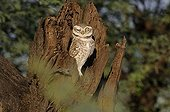 Spooted owlet on a trunk - Bharatpur India