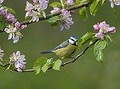 Blue Tit in folwering branch - Midlands UK