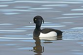 Tufted Duck male on water - Norfolk Midlands UK