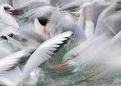 Black-headed Gulls squabbling over bread - Lake Geneva