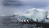 Gentoo Penguins and iceberg -Brown Bluff Antarctic Peninsula