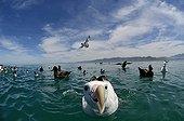 Wandering Albatross on water - Kaikoura New Zealand