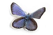 Reverdin's blue male on white background