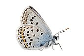 Silver-studded Blue on white background