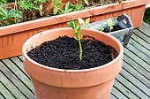 Cutting of hydrangea in a garden