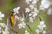 Bramble sawfly on flowers - Northern Vosges France