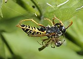 Common hammock-weaver capturing a Paper wasp-Northern Vosges