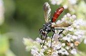 Tachinaire à pattes velues sur fleurs- Vosges du Nord France