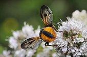 Phasie crassipenne sur fleurs- Vosges du Nord France