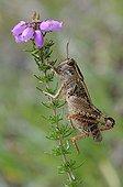 Italian locust on Heath - Aquitaine France