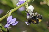Goldenrod Spider catching Bumblebee - Aquitaine France