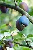 Wasp on Quetsche plum in a garden